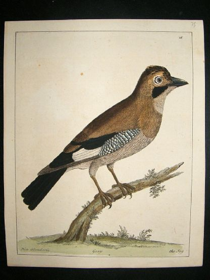 Albin: 1730's Hand Colored Bird Print. The Jay | Albion Prints
